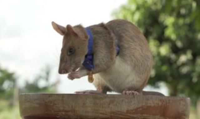 تكريم الفأر بالميدالية الذهبية