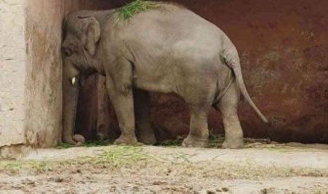 الفيل كافاكا