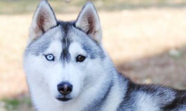 كلب من نوع هاسكي