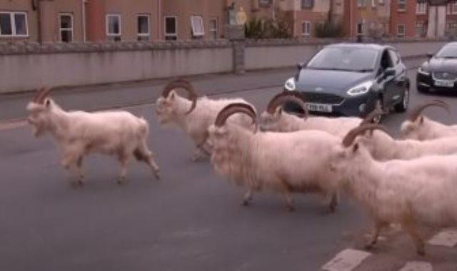 الماعز يسير فى الشوارع