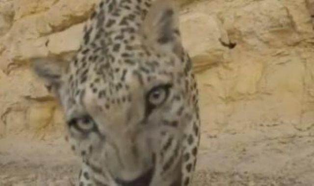 نمر عربي