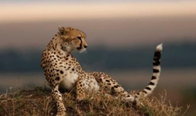 فهد آسيوى مهدد بالانقراض