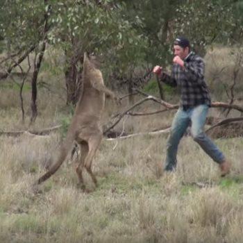 كنغر يهاجم احد الاشخاص