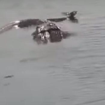 تمساح يلتهم اناكوندا