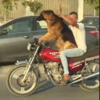 الكلب أثناء قيادة الدراجة البخارية