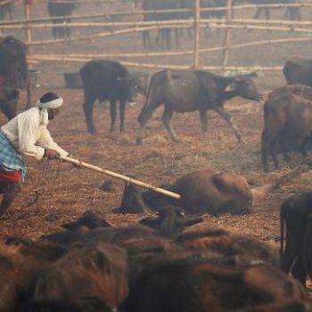 ذبح آلاف الحيوانات