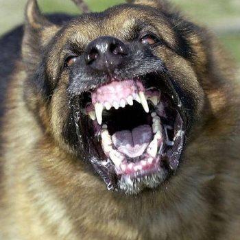 كلب شرس