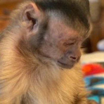 القرد بوى