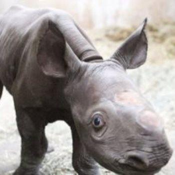 وحيد القرن ـ أرشيفية