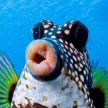 سمكة غيرة الاطوار