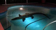 صورة تمساح – أرشيفية
