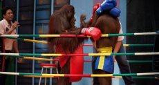 ملاكمة بين القرود
