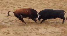 مصارعة الثيران