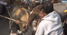 الأبقار تدهس الهندوس