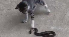 مواجهة شرسة بين قطة وثعبان