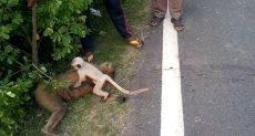 القرد يبكى على جسد أمه
