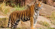 كاميرا مراقبة تلتقط نمر نادر مهدد بالإنقراض