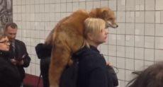 فتاة روسية تحمل ثعلب بداخل محطة مترو