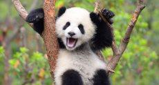 حيوان الباندا