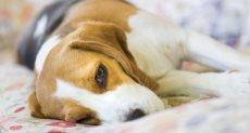 الإصابة بالسكر عند الكلاب - أرشيفية