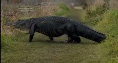 تمساح ضخم