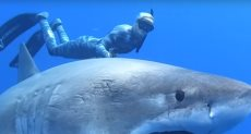 القرش الأبيض