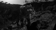النمر الأسود