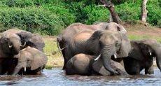 أفيال