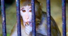 القردة لوزة