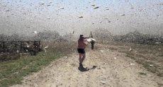 أسراب الجراد تهاجم سماء روسيا