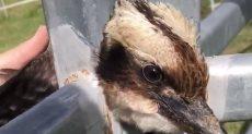 طائر  kookaburra