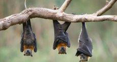 انفلونزا الخفافيش