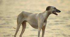 الكلاب السلوقى - أرشيفية