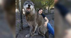 الذئب العملاق