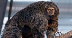 القرد العملاق