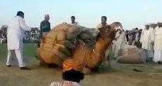مسابقة لرفع أثقال بوزن 1.7 طن بين الإبل في باكستان