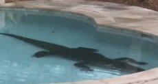 تمساح في منزل سيدة بفلوريدا