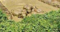 محاولات الأفيال لإنقاذ الصغير