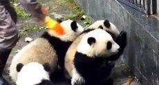 هروب الباندا