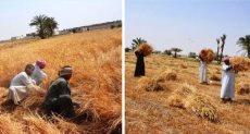 حصاد القمح - ارشيفية