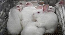 أرانب - أرشيفية