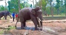 الفيل دارنوا