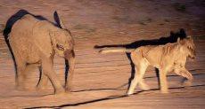 أسد يحاول الهروب من الفيل