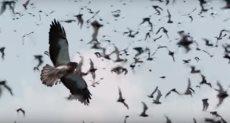 الصقور تفترس الخفافيش