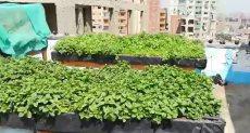 زراعة سطح ديوان مديرية القاهرة