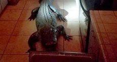 التمساح يقتحم المنزل