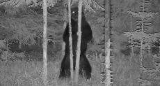 الدب الراقص