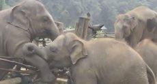 الفيل يساعد أخته