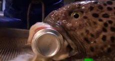 سمكة الأنقليس الذئبى