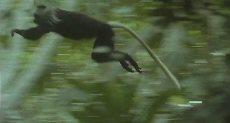 القرد الفريسة